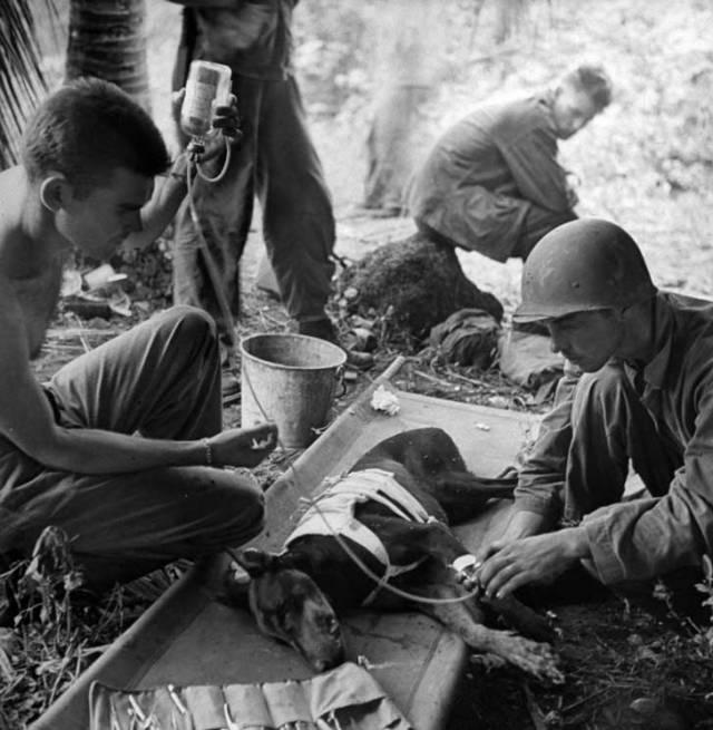 Estos combatientes cuidan a un perro herido durante la acción en la Península Orote en 1944.